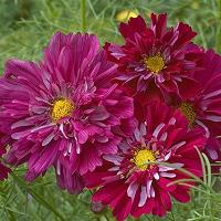 Double Click Cranberry Flowers