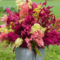 Pampas Plume Celosia Seed
